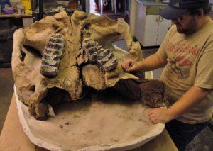 snowmass-mastodon-male-skull-1024x728