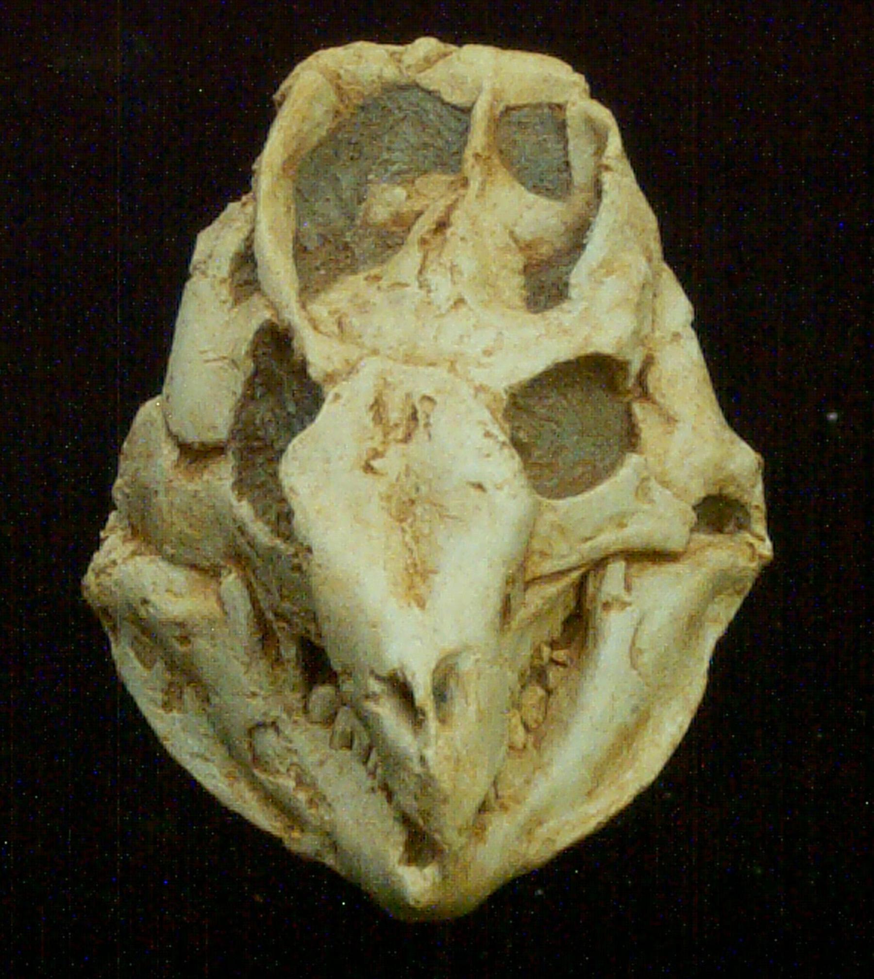 archeoceratops skull front vw