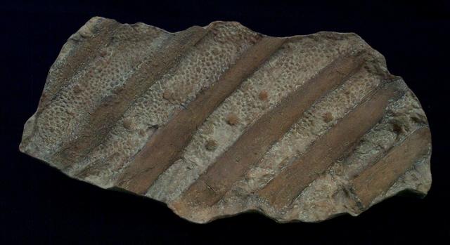 dino skin with ribs (640x349)