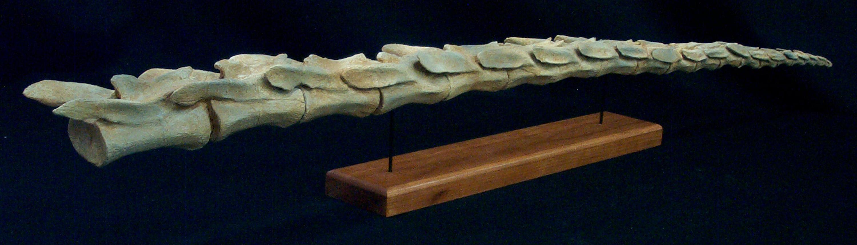 gallimimus distal tail 1