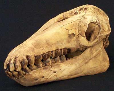 macrauchenia-skull_fs