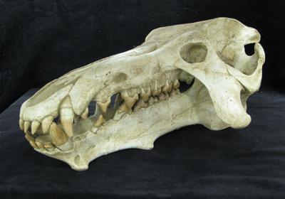 Mammal Skulls Amp Miscellaneous Gaston Design Inc